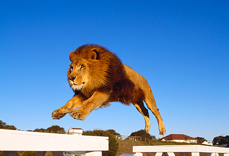 LNS 01 RK0270 17 © Kimball Stock African Male Lion Leaping In Air Blue Sky