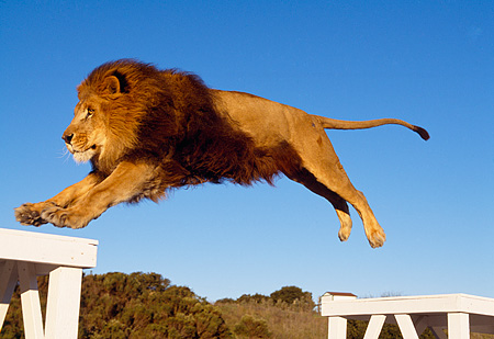 LNS 01 RK0271 16 © Kimball Stock African Male Lion Landing From Jump Blue Sky