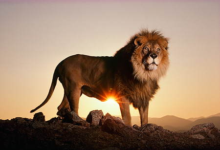 LNS 01 RK0294 09 © Kimball Stock Profile Shot Of Lion Standing On Rocks At Dusk