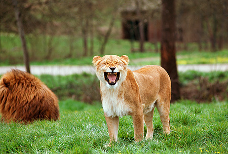 LNS 01 RK0341 03 © Kimball Stock Female Lion Growling With Male Laying On Grass