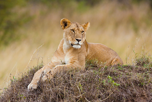 LNS 01 RW0001 01 © Kimball Stock African Lioness Laying On Grass Mound Kenya