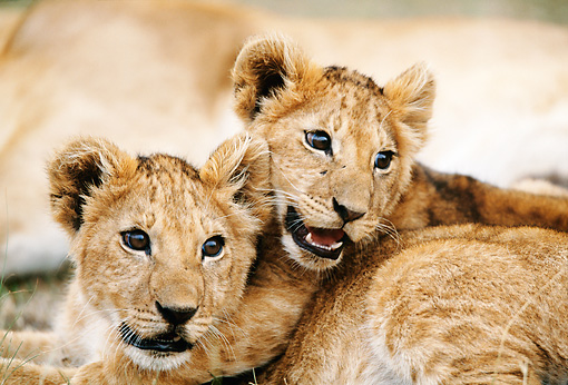 LNS 02 DB0010 01 © Kimball Stock Close-Up Of Two African Lion Cubs Wrestling