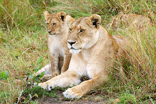 LNS 02 GL0001 01 © Kimball Stock Lionness Laying With Cub In Grass Kenya