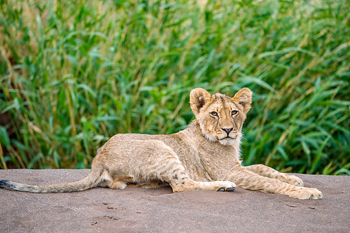 LNS 02 KH0001 01 © Kimball Stock Lion Cub Laying On Rock In Botswana