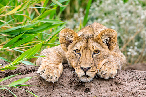 LNS 02 KH0002 01 © Kimball Stock Lion Cub Laying On Log In Botswana