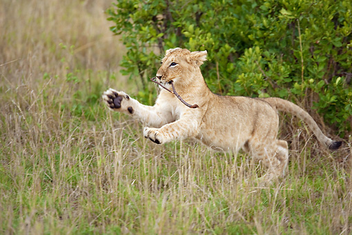 LNS 02 MC0003 01 © Kimball Stock African Lion Cub Playing With Stick Kenya