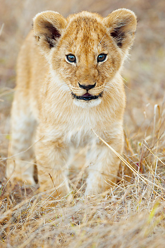 LNS 02 MC0004 01 © Kimball Stock Portrait Of African Lion Cub Standing On Savanna Kenya