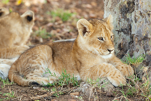 LNS 02 MC0008 01 © Kimball Stock African Lion Cub Resting In Savanna Kenya