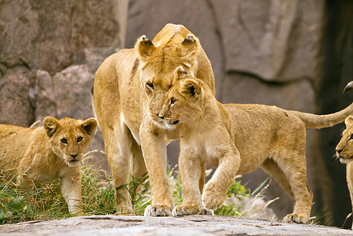 LNS 02 MC0010 01 © Kimball Stock Lioness Standing On Rocks With Cubs Tanzania