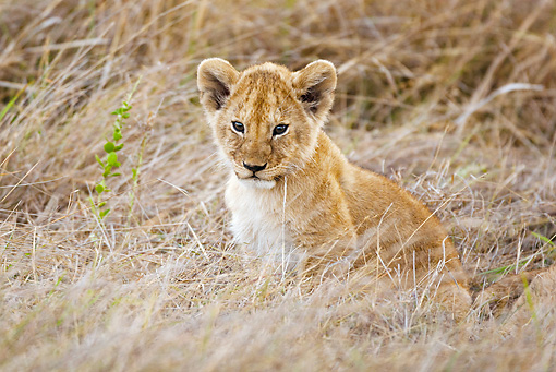 LNS 02 MC0012 01 © Kimball Stock Lion Cub Sitting In Grass Masai Mara, Kenya