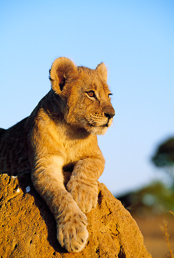 LNS 02 MH0004 01 © Kimball Stock Portrait Of Lion Cub Gazing Into Sunset Botswana