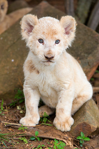 LNS 02 MH0005 01 © Kimball Stock Portrait Of White Lion Cub Sitting By Rocks South Africa