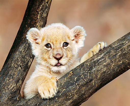 LNS 02 RK0002 10 © Kimball Stock Head Shot Of White Lion Cub In Fork Of Tree Brown Mottled Background