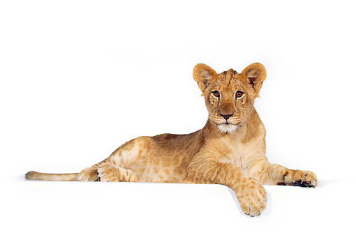 LNS 02 RK0053 05 © Kimball Stock Full Body Shot Of Lion Cub On White Seamless Background