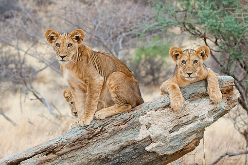 LNS 02 RW0008 01 © Kimball Stock Three African Lion Cubs On Log Samburu National Reserve, Kenya