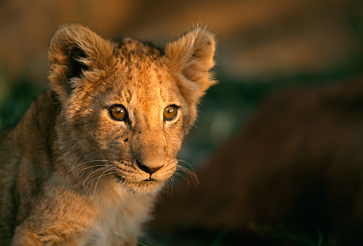 LNS 02 DB0002 01 © Kimball Stock Head Shot Of African Lion Cub Africa