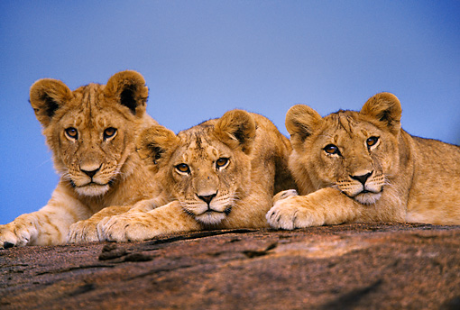 LNS 02 DB0003 01 © Kimball Stock African Lion Cubs Resting On Rock Africa