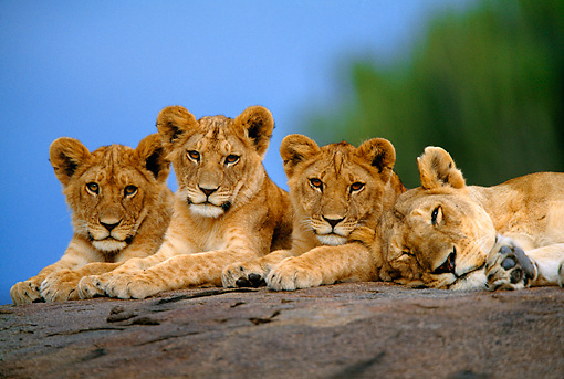 LNS 02 DB0004 01 © Kimball Stock African Lioness And Three Cubs Resting On Rock Africa