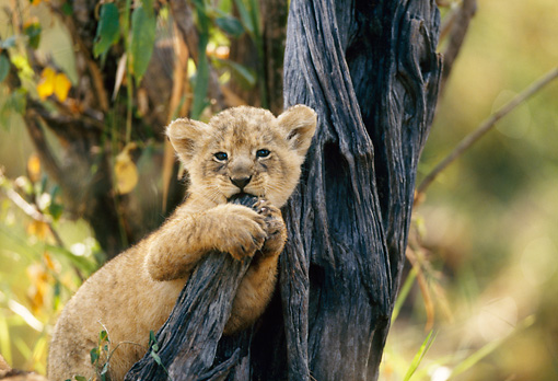 LNS 02 DB0008 01 © Kimball Stock African Lion Cub Sitting In Tree Grabbing And Biting Branch