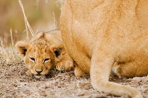LNS 02 NE0004 01 © Kimball Stock African Lion Cub Laying By Mother Kenya
