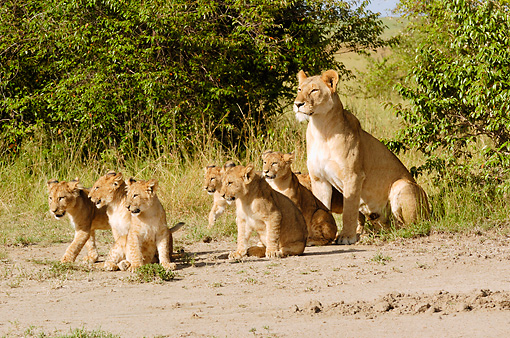 LNS 02 NE0006 01 © Kimball Stock Pride Of African Lions Sitting On Dirt By Shrubs Kenya