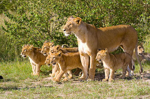 LNS 02 NE0008 01 © Kimball Stock African Lion Mother And Cubs Standing On Grass By Shrubs Kenya