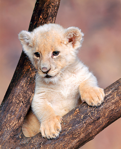 LNS 02 RK0001 02 © Kimball Stock White Lion Cub Laying In Fork Of Tree Branch Brown Marble Background