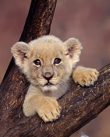 LNS 02 RK0002 04 © Kimball Stock Head Shot Of White Lion Cub In Fork Of Tree Brown Mottled Background