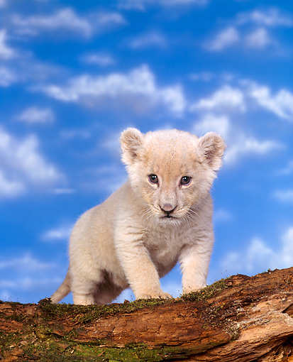 LNS 02 RK0007 01 © Kimball Stock White Lion Cub Standing On Tree Trunk Facing Camera Blue Clouds Background