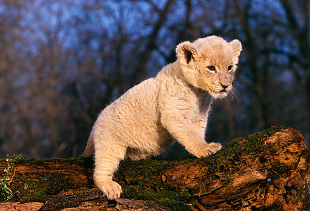 LNS 02 RK0042 03 © Kimball Stock White Lion Sitting On The End Of Molded Tree Trunk Trees In Background