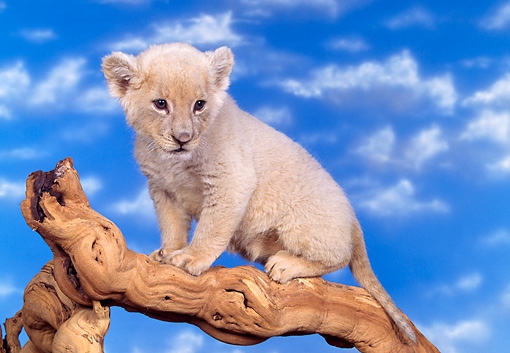 LNS 02 RK0046 01 © Kimball Stock White Lion Sitting Sideways On Lifted Branch Facing Camera Blue Clouds Background