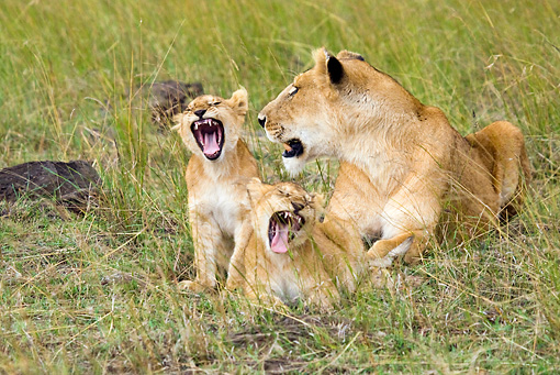 LNS 02 RW0001 01 © Kimball Stock African Lion Mother And Cubs Sitting And Laying In Grass Roaring Kenya