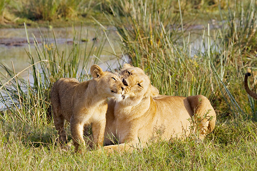 LNS 02 RW0002 01 © Kimball Stock African Lion Mother Kissing Cub By Watering Hole On Savanna Kenya