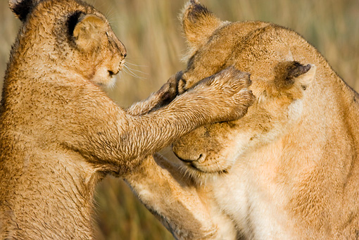 LNS 02 RW0004 01 © Kimball Stock African Lion Cub Playing Covering Mother's Eyes On Savanna Kenya