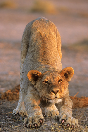 LNS 02 SM0001 01 © Kimball Stock African Lion Cub Stretching