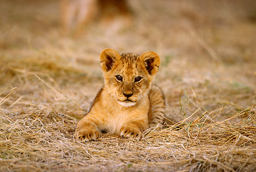 LNS 02 TL0005 01 © Kimball Stock Head On Shot Of African Lion Cub Laying On Dry Grass