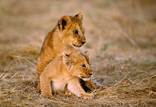 LNS 02 TL0006 01 © Kimball Stock Two African Lion Cubs Playing On Dry Grass