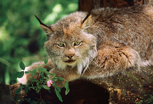 LYX 01 BA0002 01 © Kimball Stock Close-Up Of Canadian Lynx Laying On Rock By Pink Flower