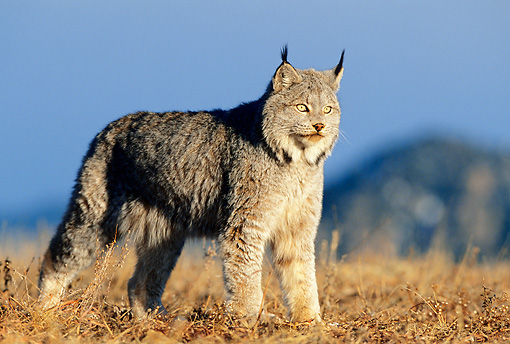 LYX 01 KH0001 01 © Kimball Stock Canadian Lynx Standing In Field