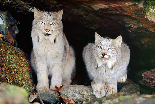 LYX 01 RK0045 02 © Kimball Stock Two Canadian Lynx Sitting And Laying Next To Each Other Underneath Tree