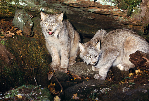LYX 01 RK0045 10 © Kimball Stock Two Canadian Lynx Sitting And Laying Next To Each Other Underneath Tree