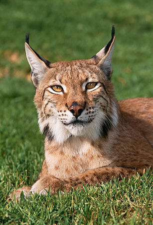LYX 01 RK0001 10 © Kimball Stock Close Shoulder Shot Of Lynx Laying Down Facing Camera On Grass