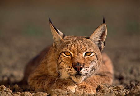 LYX 01 RK0005 07 © Kimball Stock Close Head Shot Of Lynx Laying Down Head Low On Dirt With Mouth Open