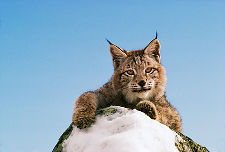 LYX 01 RK0036 11 © Kimball Stock Lynx Standing Behind Snow Covered Rock Facing Camera Blue Sky
