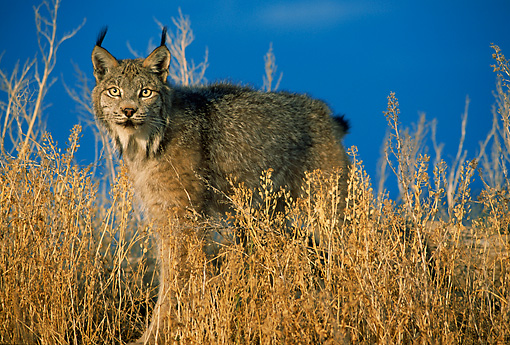 LYX 01 RW0001 01 © Kimball Stock Lynx In Dry Grass