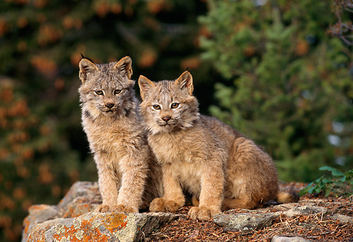 LYX 01 TL0001 01 © Kimball Stock Portrait Of Two Lynx Kittens