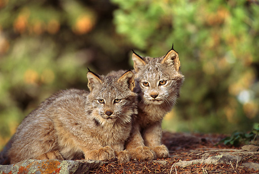 LYX 01 TL0002 01 © Kimball Stock Portrait Of Two Lynx Kittens Huddling On A Rock By Trees