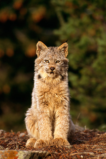 LYX 01 TL0003 01 © Kimball Stock Portrait Of Lynx Kitten Sitting On Rock Facing Camera Woods Background