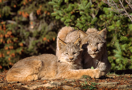 LYX 01 TL0005 01 © Kimball Stock Portrait Of Two Lynx Kittens Huddling On A Rock By Trees