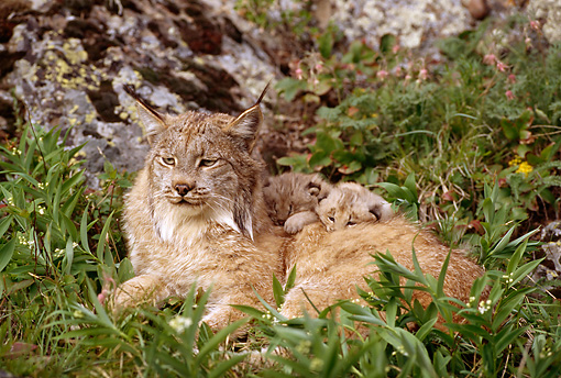 LYX 01 TL0007 01 © Kimball Stock Mother Lynx And Two Kittens Resting In Grass Near Rock